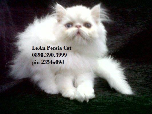 Jual Kucing Persia Peaknose Hubungi 0898 390 3999